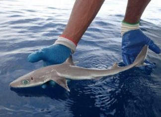 Scientists Have Discovered A New Species Of Shark, And It Looks Exactly Like An Anime Character